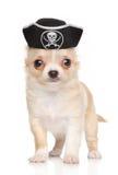 在海盗帽子的奇瓦瓦狗小狗 免版税库存照片