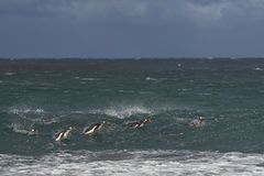 在海福克兰群岛的Gentoo企鹅 库存图片