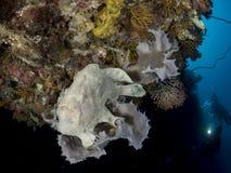 在海绵的巨型鳖鱼科之鱼 图库摄影