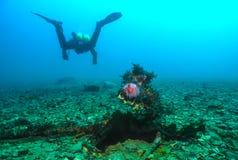 在海胆的潜水者 免版税库存图片