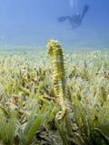 在海草的海象与一个潜水者的剪影在背景中 免版税库存照片