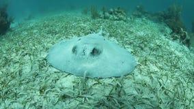 在海草的Roughtail黄貂鱼在加勒比 股票录像