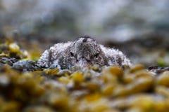 在海草铺平的幼小蛎鹬 库存图片