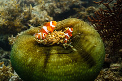 在海葵的Clownfish anemonefish Amphiprioninae 库存图片