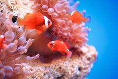 在海葵背景的Anemonefish 免版税库存照片
