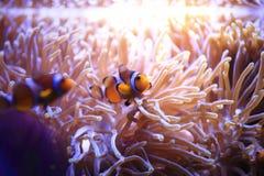 在海葵背景的Anemonefish 免版税图库摄影