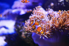 在海葵背景的Anemonefish 库存图片