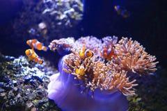 在海葵背景的Anemonefish 免版税库存图片
