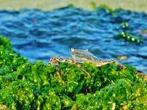 在海藻的螃蟹在多米尼加共和国海滩,bayahibe,手段 库存照片