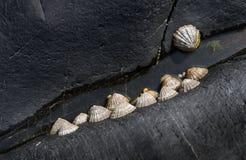 在海边岩石的帽贝 免版税库存照片