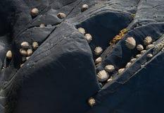 在海边岩石的帽贝 Fishguard,威尔士 免版税库存照片