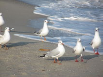 在海边的鸥 免版税库存照片