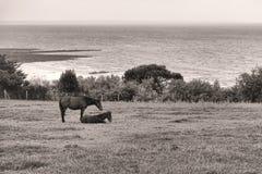 在海边草甸牧场地领域的马在海上 图库摄影