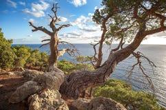 在海运横向的克里米亚半岛杉木结构树 免版税库存照片