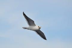 在海运海鸥的飞行 免版税库存图片