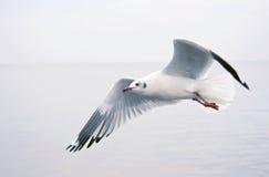在海运的海鸥飞行 库存图片