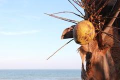 在海运结构树附近的椰子 库存图片