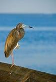 在海运附近的苍鹭tricolored 图库摄影