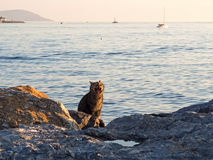 在海附近的打呵欠的猫 免版税库存照片