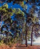 在海附近的杉木树丛有少妇的 库存图片