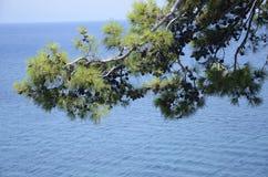 在海附近的杉木 免版税库存照片