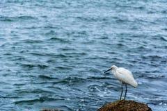 在海附近的白色苍鹭 免版税库存照片