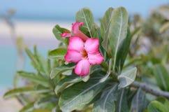 在海附近的美丽的桃红色花 图库摄影
