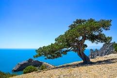 在海附近的老杜松岩石的 免版税库存图片