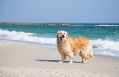 在海附近的金毛猎犬狗 免版税库存图片