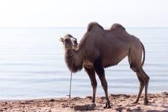 在海附近的骆驼 库存照片