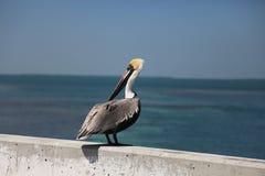 在海附近的鹈鹕 免版税库存图片