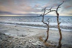 在海附近的死的树 免版税库存图片