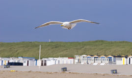 在海鸥的海滩飞行 库存图片