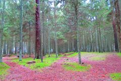 在海,立陶宛附近的杉树森林 免版税库存照片