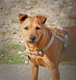 在海滩佩带的鞔具的狗 免版税库存照片