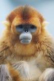 在海洋公园的Rhinopithecus roxellana 免版税库存图片