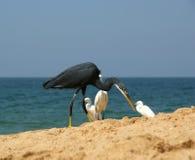在海洋含沙南部附近使苍鹭印度喀拉拉靠岸 喀拉拉,南印度 免版税库存照片