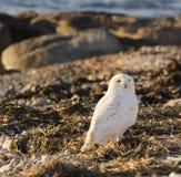 在海滩失事船只的斯诺伊猫头鹰 免版税库存图片