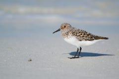 在海滩岸的三趾滨鹬 库存图片