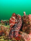 在海藻绽放期间的共同的章鱼 库存照片