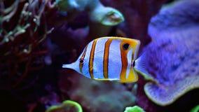 在海洋水族馆的Copperband蝴蝶鱼 库存图片