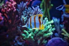 在海洋水族馆的Copperband蝴蝶鱼 免版税库存照片