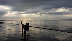 在海滩日落的小狗 免版税库存图片