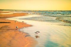 在海滩日落的鸟 免版税库存照片
