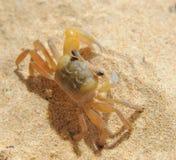 在海晴朗的海滩的螃蟹 免版税库存图片
