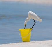 在海滩桶的白鹭 免版税库存图片