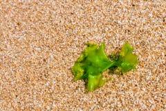 在海滩沙子的海草,特写镜头海藻 免版税库存图片