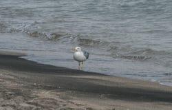 在海滩沙子的海鸥 免版税图库摄影
