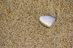 在海滩沙子的白色淡菜 免版税库存图片