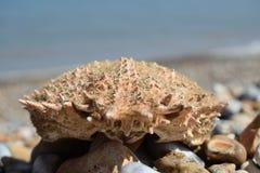 在海滩的一个老螃蟹在Dungeness 免版税库存照片